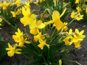 Diese kleinen Narzissen begleiteten mit in vielen Metern Rabatten zum Stricktreffen mit einem unglaublichen Frühlingsduft